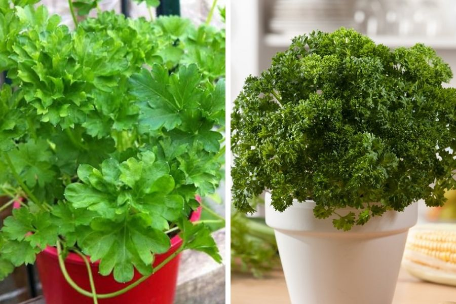 How To Grow Parsley In Pots Year Round In A Little To No Space Growing Parsley Growing Herbs Indoors