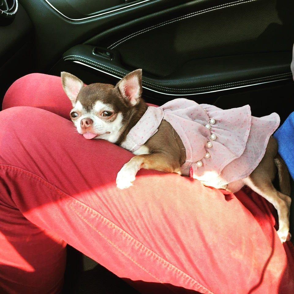 Chihuahua Fondue Chihuahua