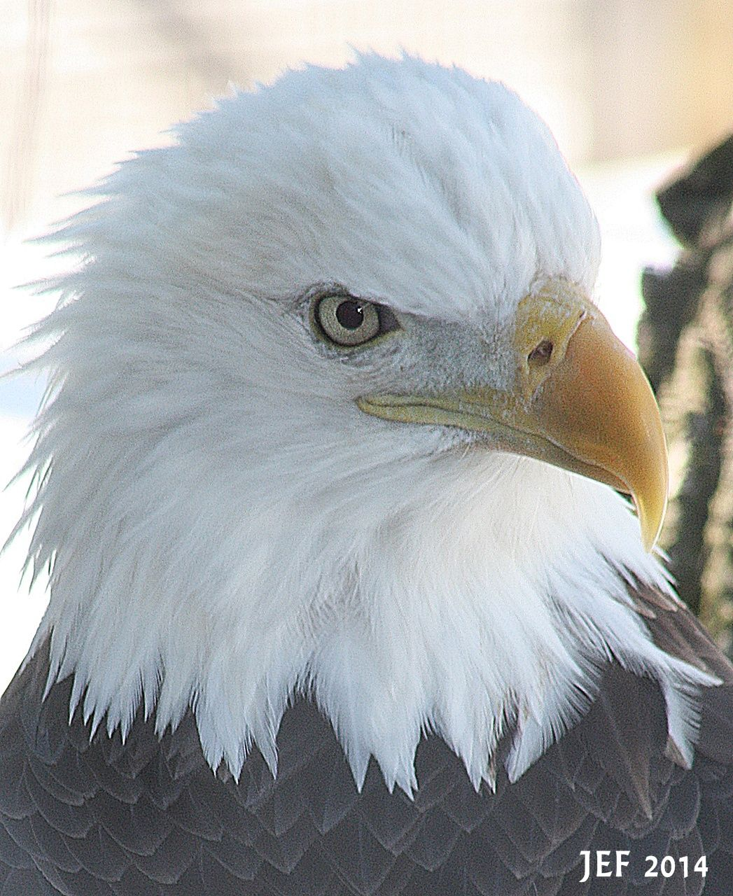 Eagle on display at the Toledo Zoo. He is unable to be