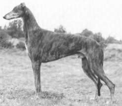 The Greyhound Is Tall Sleek Elegant And Keen With Images