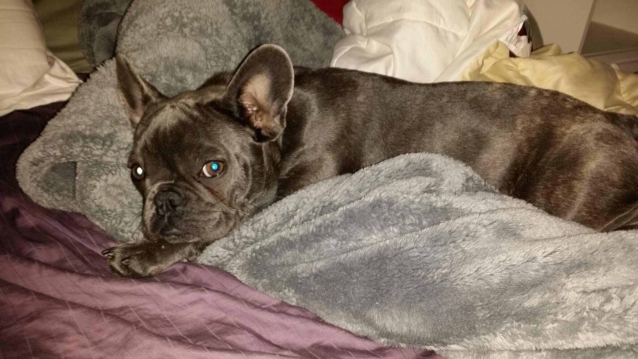 Blue french bulldog puppy french bulldog blue french