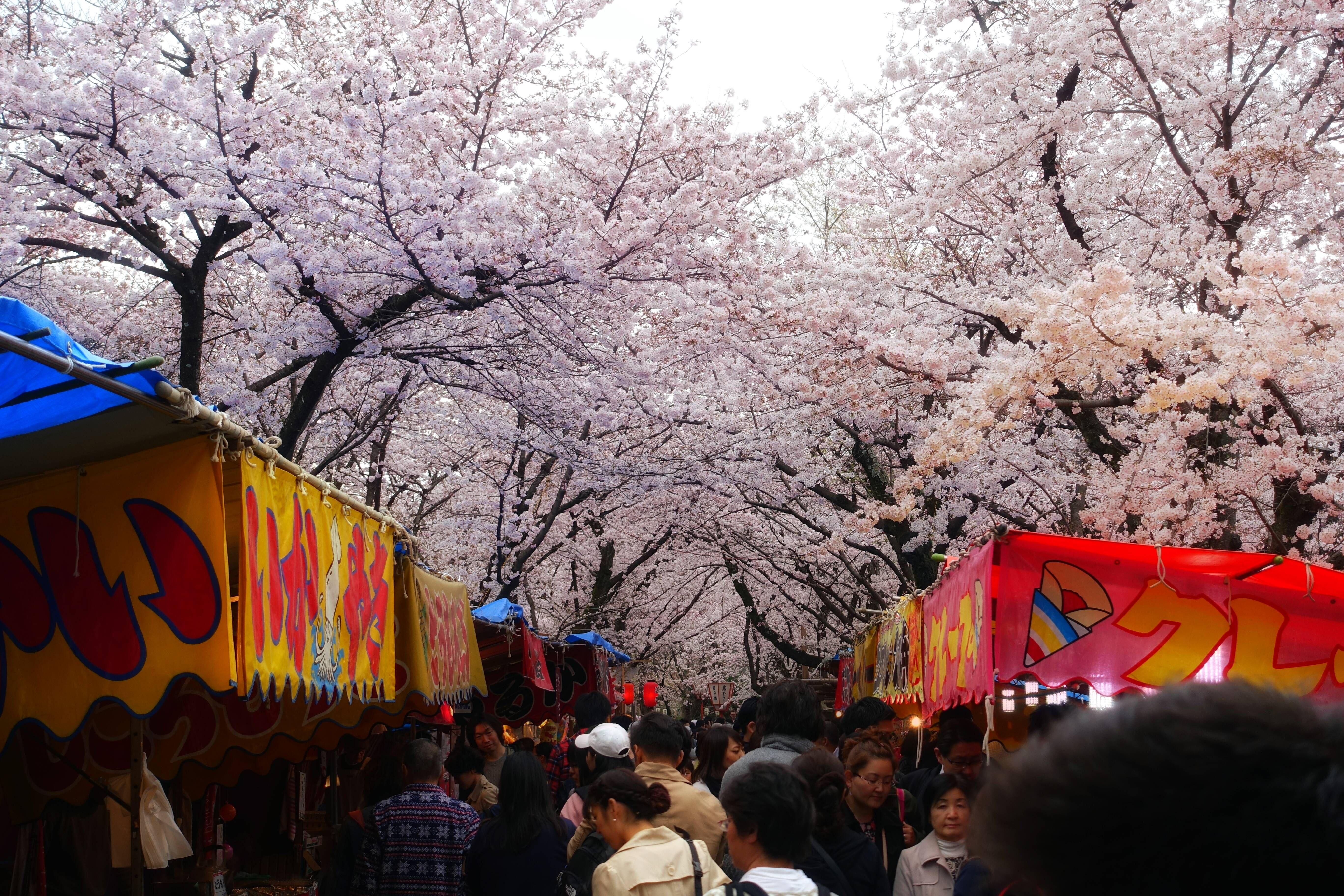 Heian Shrine Cherry Blossoms Kyoto Oc 5472x3648 R Japanpics Cherry Blossom Kyoto Shrine