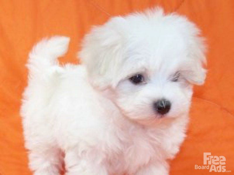 Micro Teacup Maltese Tiny Teacup Maltese Puppies For Adoption
