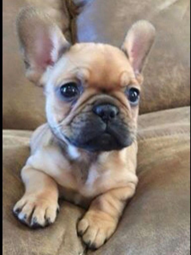 French Bulldog Full Grown Frenchbulldogfullgrown Facts On The Smart French Bulldog Dogs Personality Frenchbulldogtshirt Frenchbulldogfawn Frenchbu In 2020 French Bulldog Puppies