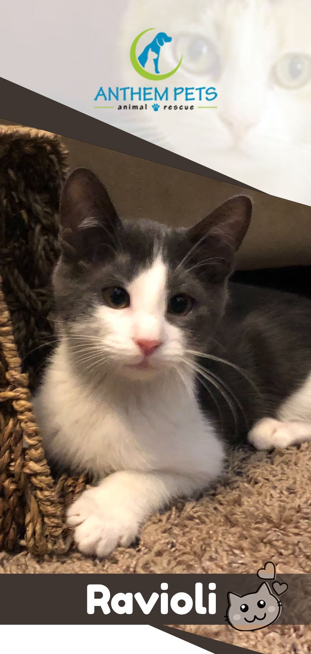 Time To Make Ravioli A Part Of Your Family See This Handsome Boy And All Of Our Adoptable Animals Today This Boy Is A In 2020 Animals Cat Adoption Cats And Kittens