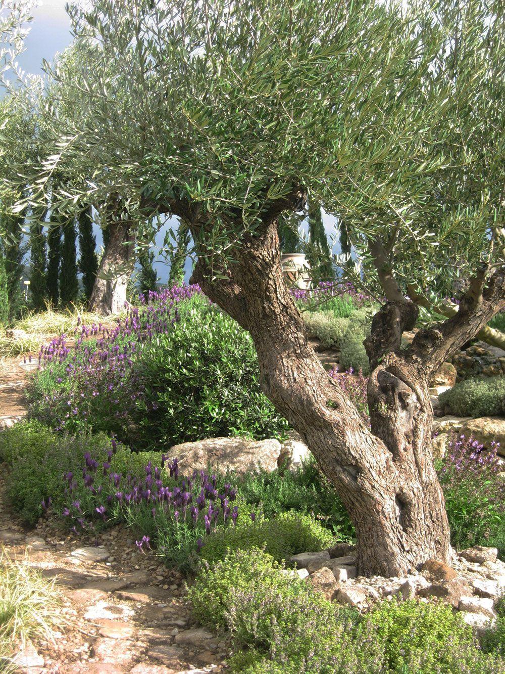 Pin By Somchai On Gardening Mediterranean Garden Design Mediterranean Landscaping Olive Trees Landscape