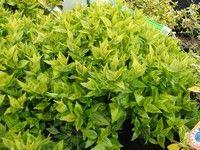 Abelia x grandiflora 'Kaleidoscope'