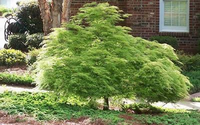 Green Lace Japanese Maple Tree