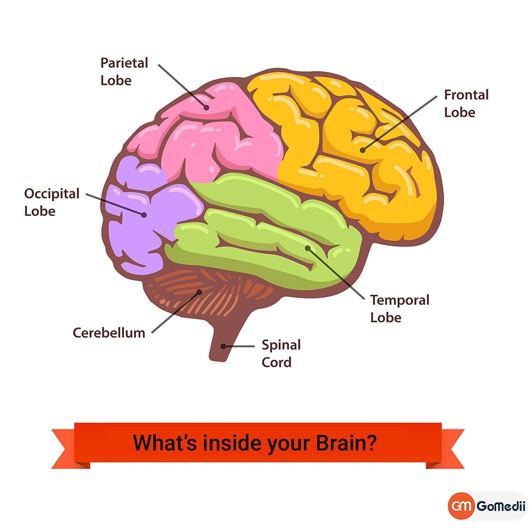 The brain is made of three main parts: the forebrain ...