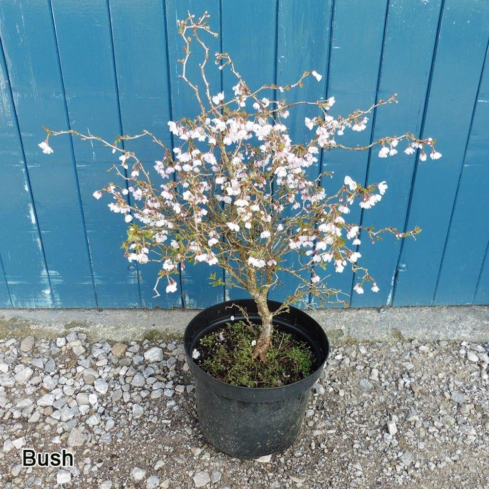 Prunus Incisa Kojo No Mai Tree Ornamental Trees Prunus Ornamental Cherry