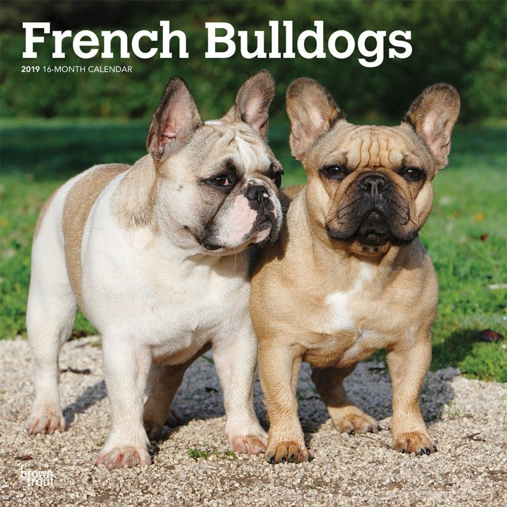 French Bulldogs 2019 12 X 12 Inch Monthly Square Wall Calendar Animals Dog Breeds French Isbn 978 1 4650 9960 0 French Bulldog Animals Dog Breeds