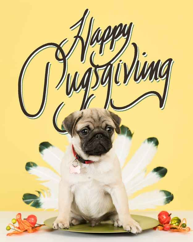 Happy Pugsgiving