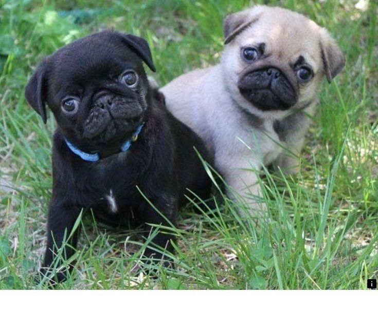 Just Click The Link To Find Out More Pugs For Adoption Near Me