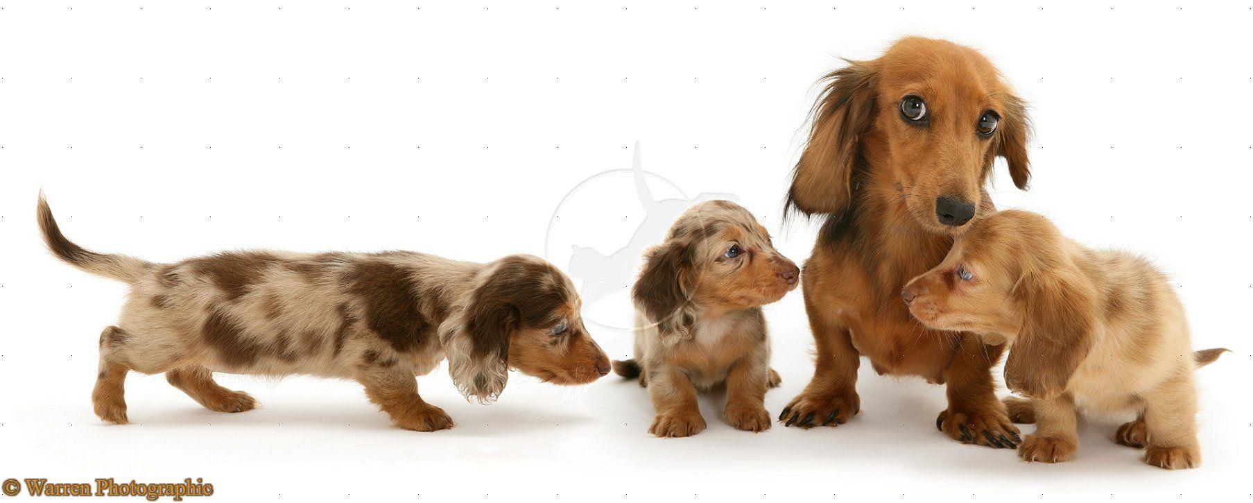 Dachshund family | dachshunds | Pinterest | Dachshunds, Animal and Dog