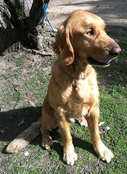 This is Sam - 4 yrs. He is an owner surrender. He is neutered, current on vaccinations, potty trained, has good house manners, rides well in a car, walks well on leash & is good with dogs. Sam does  not like to be along & would like a canine pal in his forever home. He is a well behaved boy. Retrievers and Friends of Southern California. http://www.retrieversandfriends.com/animalDetail.asp?ID=2708