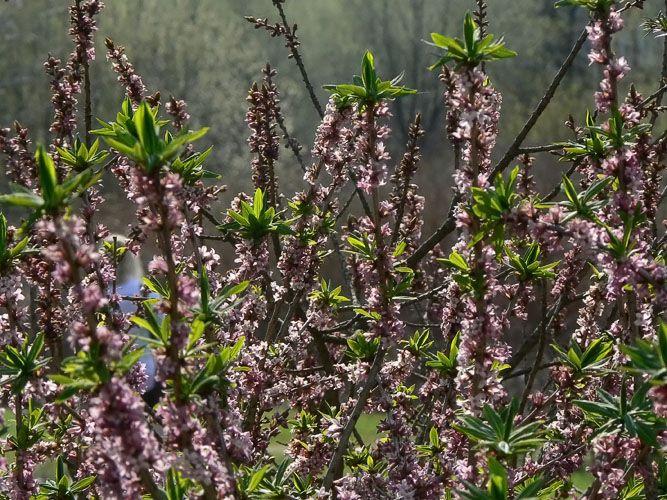 Heimo Thymelaeaceae, näsiäkasvit Daphne mezereum, NÄSIÄ