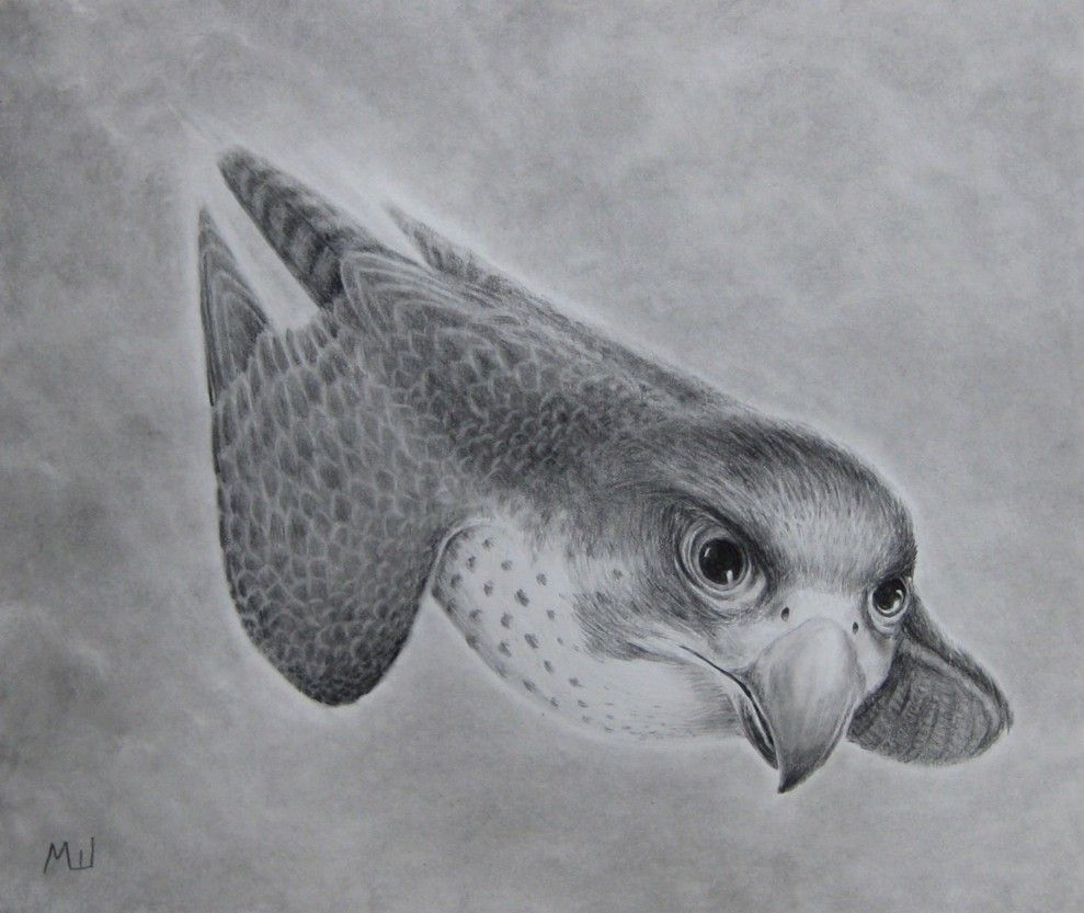 Pencil Drawing Of A Falcon Diving Pencil Drawings Dove Drawing Drawings