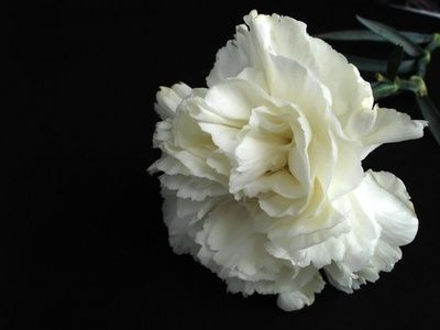 Meaning Of White Carnation Flowers Easy Science Projects White Carnation Carnations