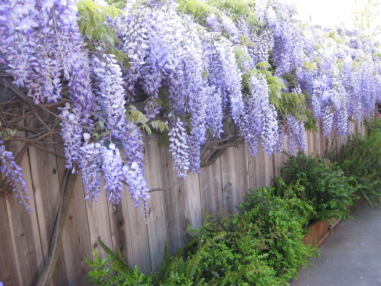 wisteria fence - google