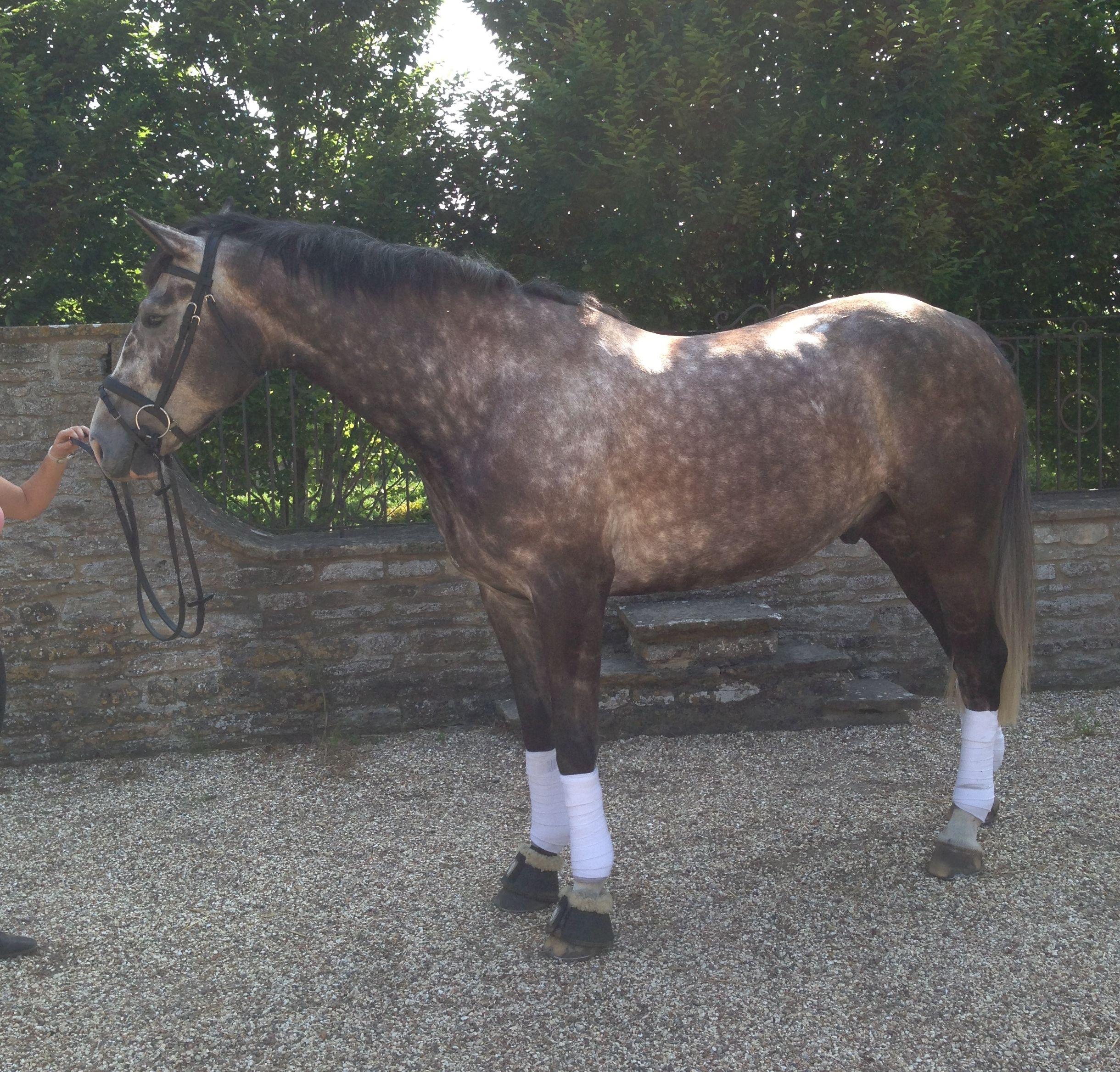 Fashion week Sport Irish horse dun pictures for woman