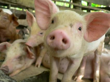 How Many Pigs Pig National Pig Day Baby Pigs