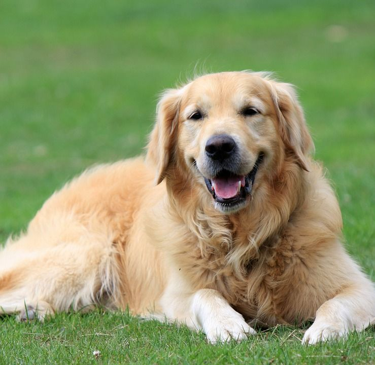 The Most Loyal Dog Breeds Page 9 Of 61 Golden Retriever Breed