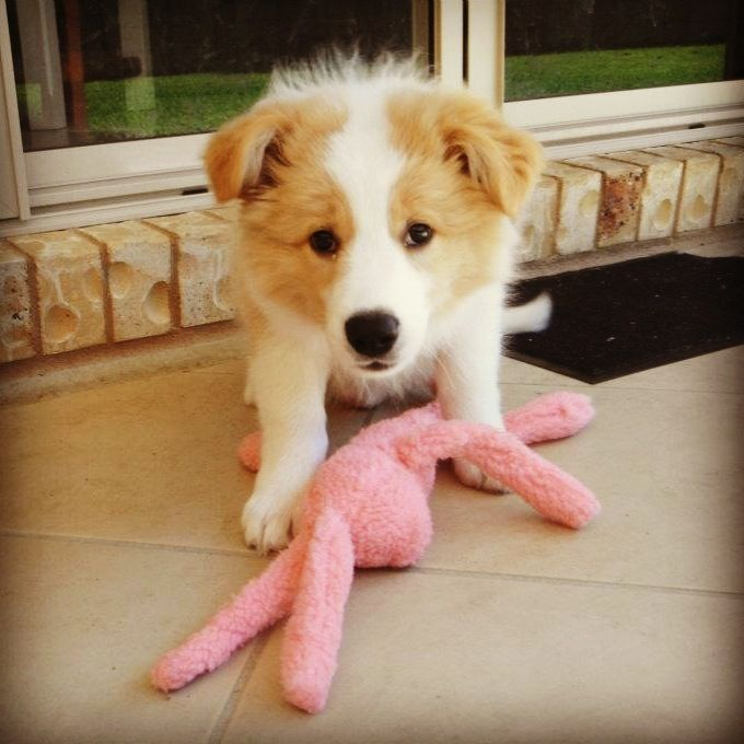 My Charlie when he was a puppy - Wheaten border collie  SO cute <3