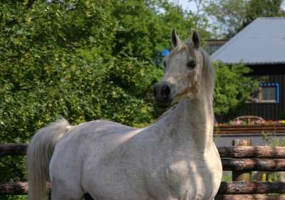 Sivka (Strike x Gay Polly) 1984-2012 mare