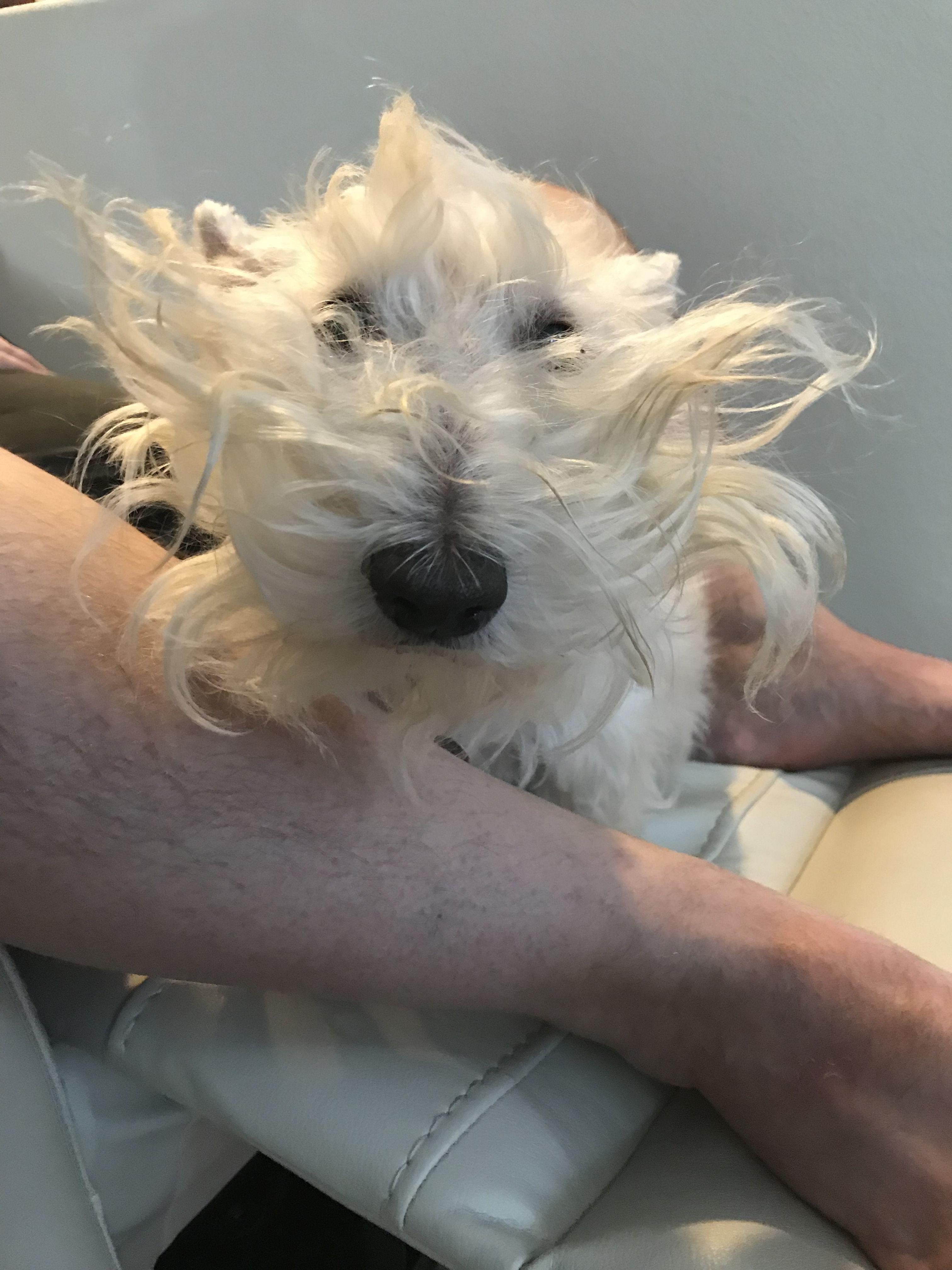 Wacky Ginger Scottish terrier, Dog love, Scottie dog
