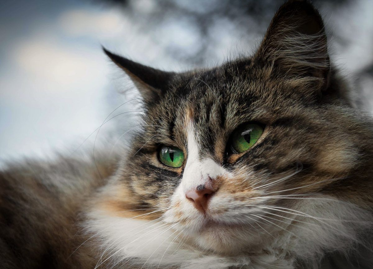 Cat Eye Infection Recognize The Signs Kitten Eyes Cat Eye Infection Kitten Eye Infection