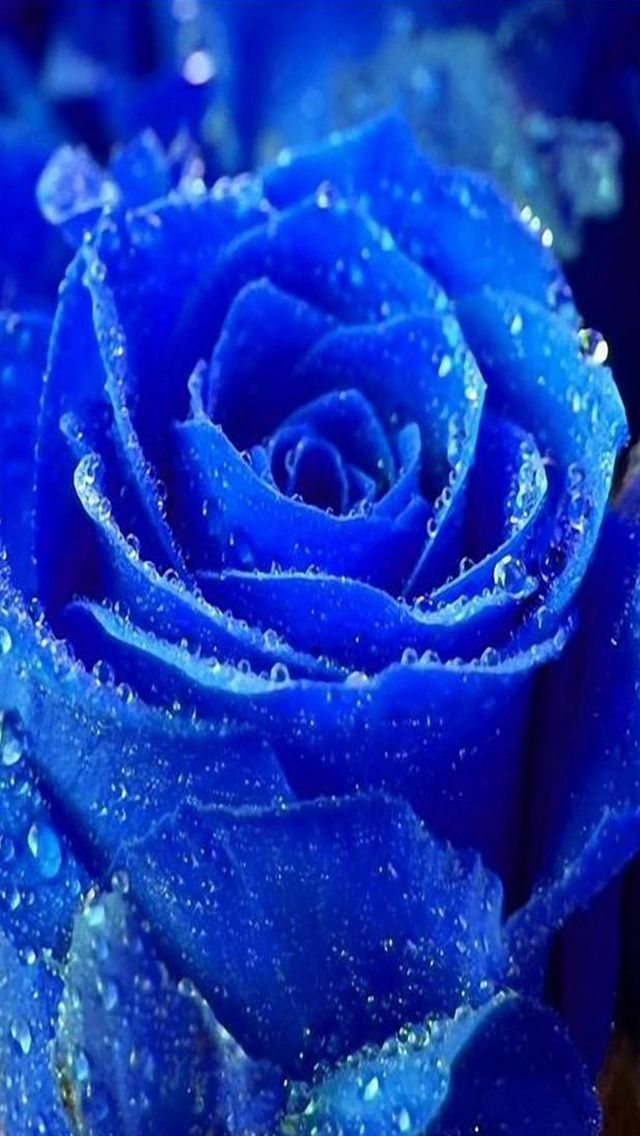 Blue rose iphone hd wallpaper