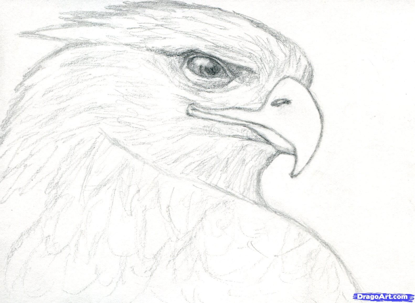 How to draw a realistic eagle golden eagle step 8