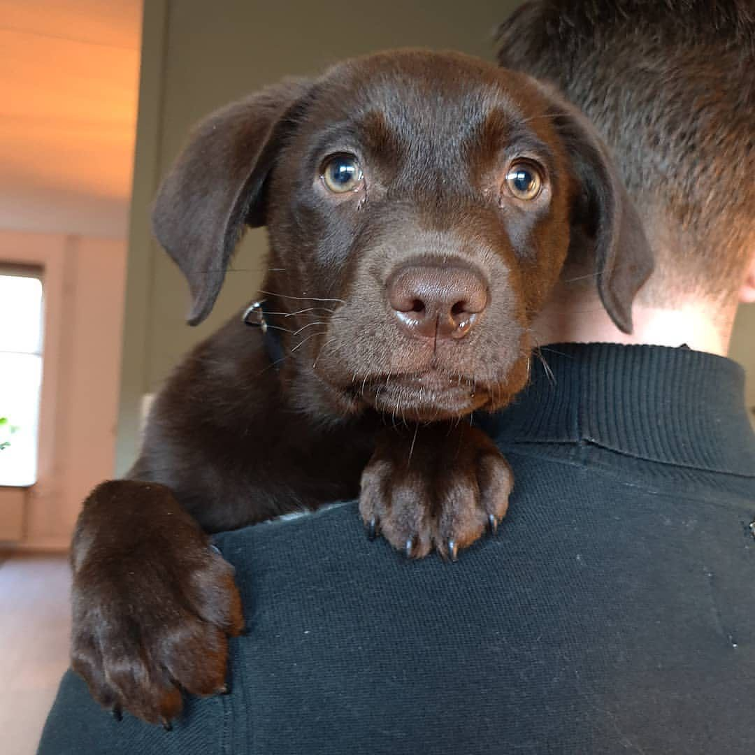 I Am A Labrador Owner In This Page I Will Provide Labrador