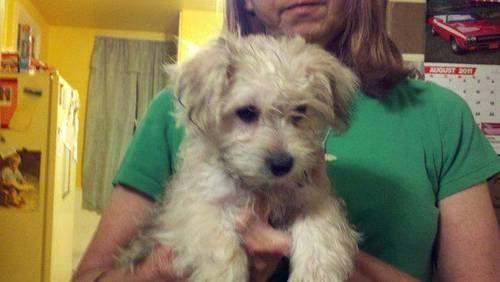 Yorkie Bichon Puppies For Sale Yorkiebichon Mix Puppies For Sale