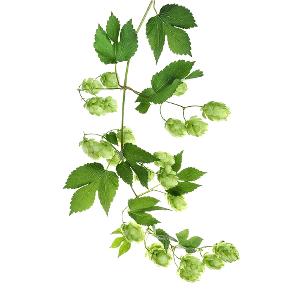 HUMALA - Frantsila. Frantsilan Humala on luomuviljelty Frantsilan Luomuyrttitilalla Hämeenkyrössä. Tutustu kasvin perinteiseen käyttöön ja Humalaa sisältäviin tuotteisiin.