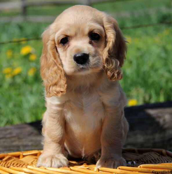 Cocker Spaniel Cute Puppies Images Cocker Spaniel Puppies Dog Lovers