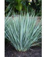 Little Rev™ Flax Lily (Dianella revoluta 'DR5000' P.P.# 17719) - Monrovia - Little Rev™ Flax Lily (Dianella revoluta 'DR5000' P.P.# 17719)