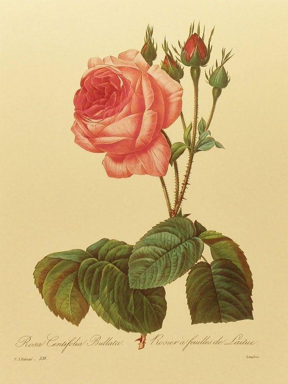 Botanical Rose Print, Botanical Wall Art to Frame (Pink Rose, Pink ...