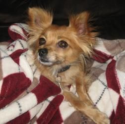 Gracie Is An Adoptable Chihuahua Dog In Calgary Ab Gracie Is A 5