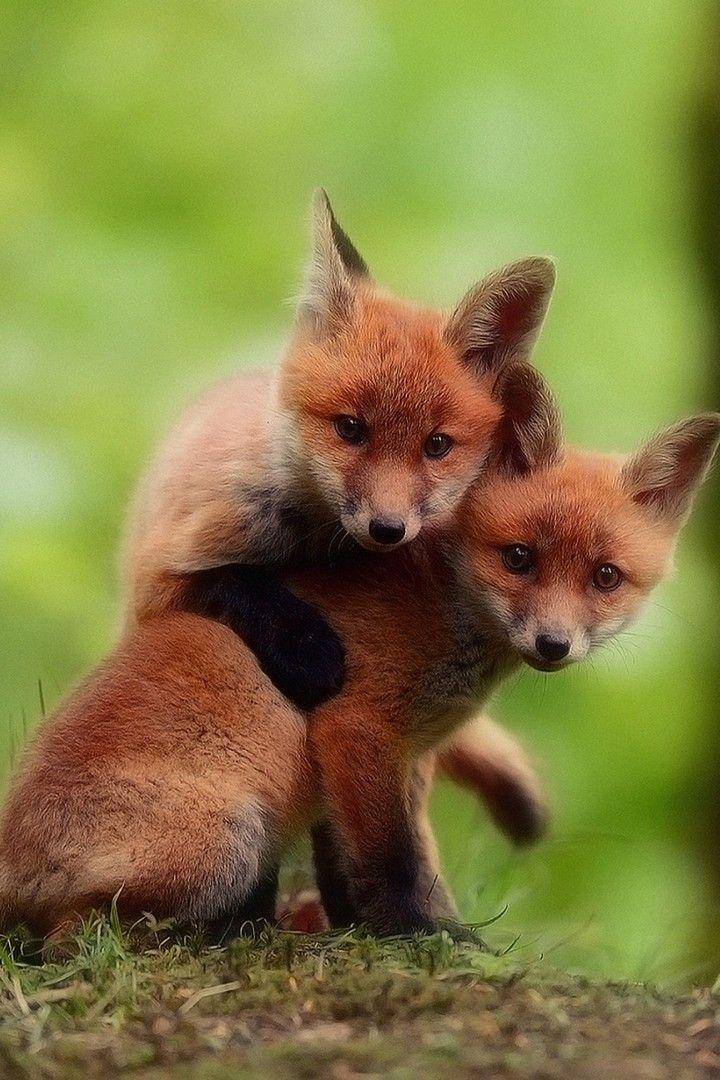 Cute Fox Babies Wallpaper Iphone Best Iphone Wallpaper Cute Animals With Funny Captions Super Cute Animals Cute Fox