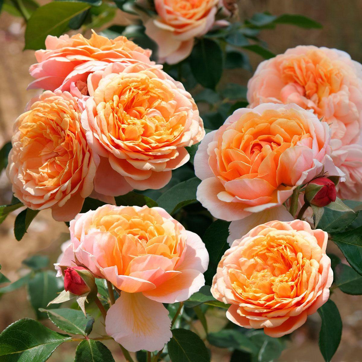 Rose Kaufen