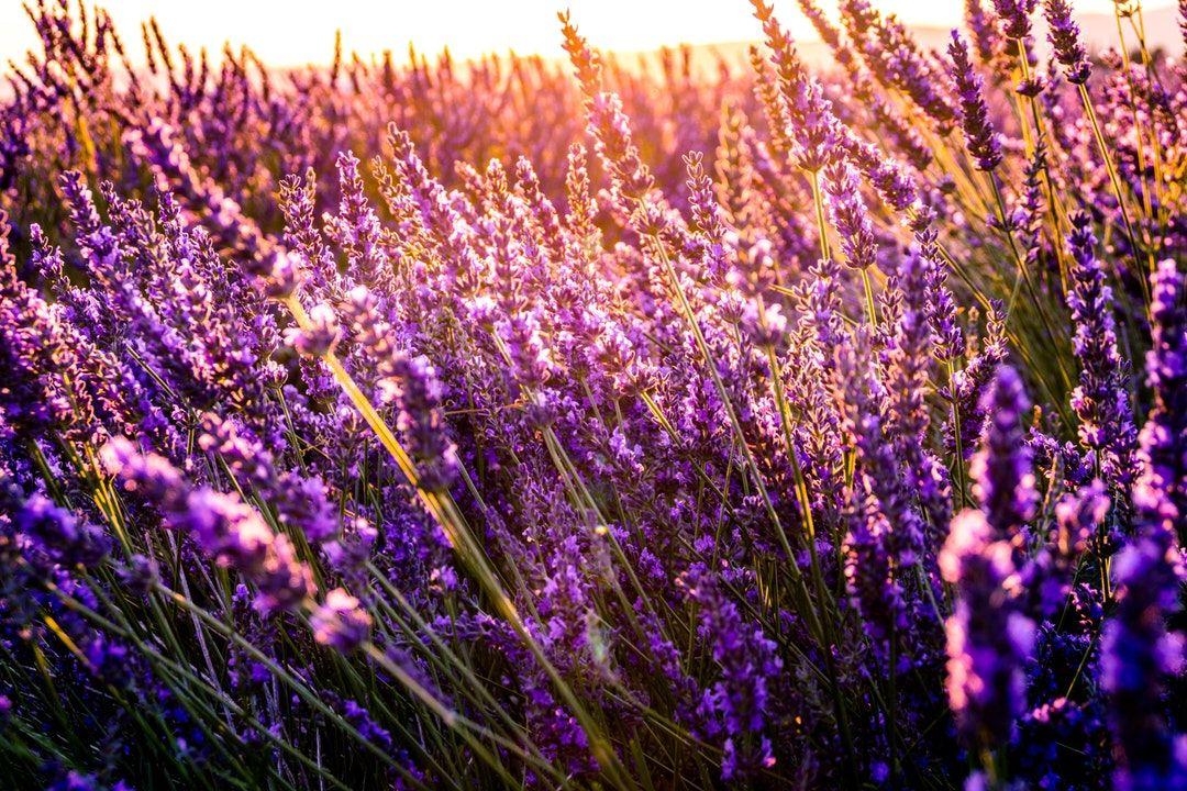 Lavender Leonard