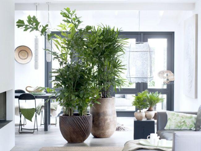 Wohnzimmer Palme ~ Exklusive palmen sind zimmerpflanzen des monats februar treppe
