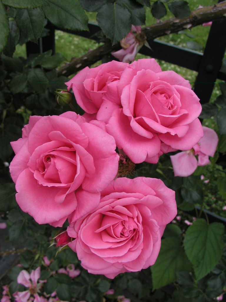Rosa rhonda climbers united states and vans rhonda large flowered climber medium pink double rated very good by ars izmirmasajfo