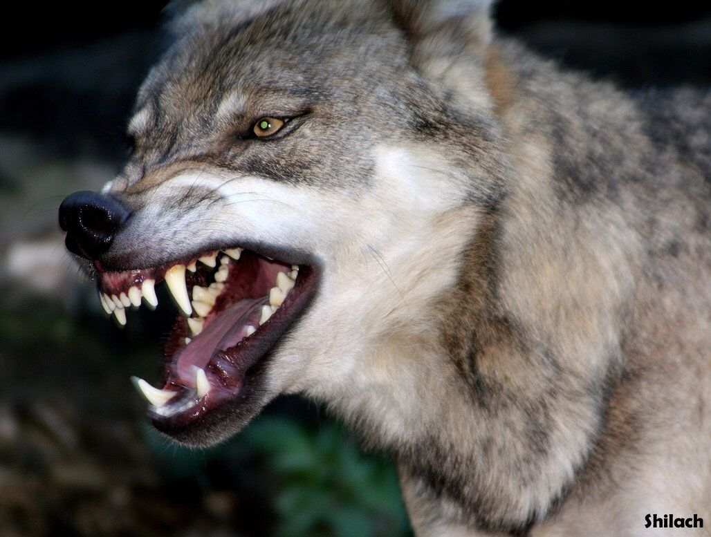 Image result for wolf snarling | God\'s creatures | Pinterest | Wolf ...