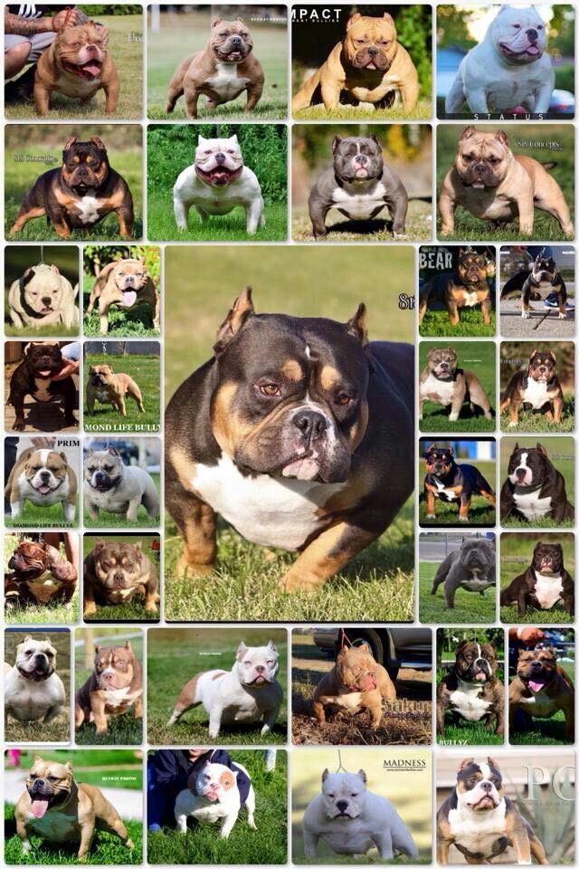 Phenom Offspring American Bully Pets Dogs