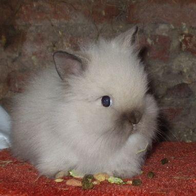 Dwarf Lionhead Rabbits for Sale | lionhead rabbit? Questions about the breed? Why does a Lionhead Rabbit ...
