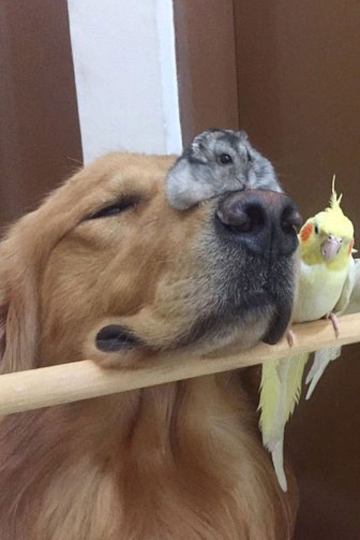 This Golden Retriever Snuggling With His Bird And Hamster Besties Proves Love Knows No Species Cute Funny Animals Cute Baby Animals Cute Hamsters