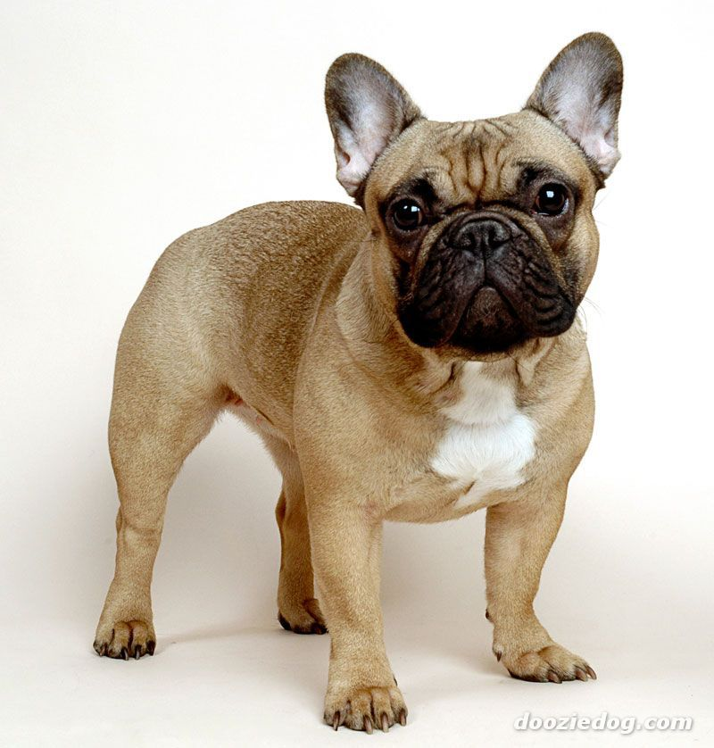French Bulldog 4 Pro Small And Sturdy Great With Kids Very