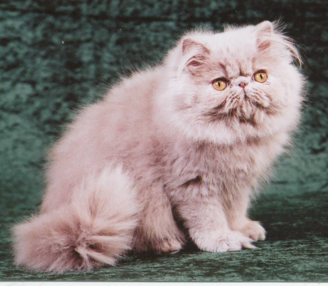 Lilac persian cat for sale